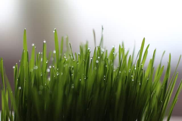 Wheatgrass has more calcium than milk